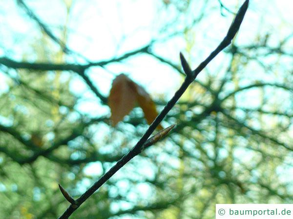 amerikanische Buche (Fagus grandiflora) Seitenknospen