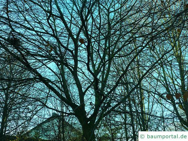 amerikanische Buche (Fagus grandiflora) Baum im Winter