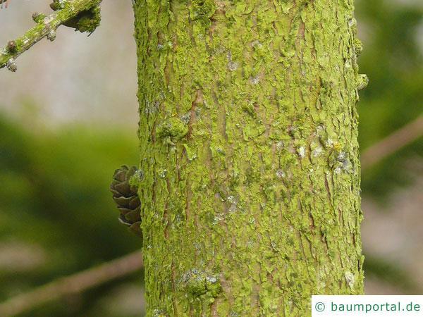 amerikanische Lärche (Larix laricina) Stamm