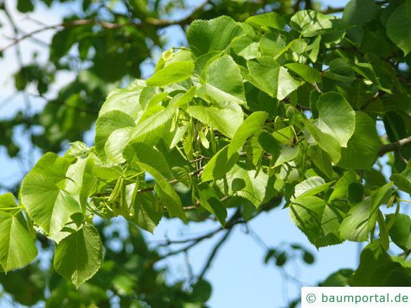 amerikanische Linde (Tilia americana) Blätter