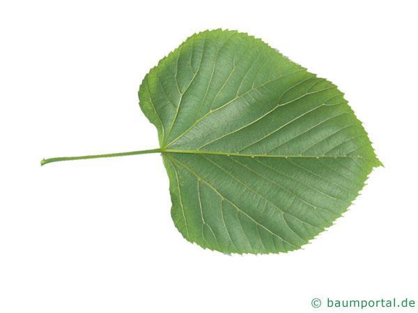 amerikanische Linde (Tilia americana) Blattunterseite