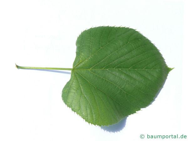 amerikanische Linde (Tilia americana) Blatt