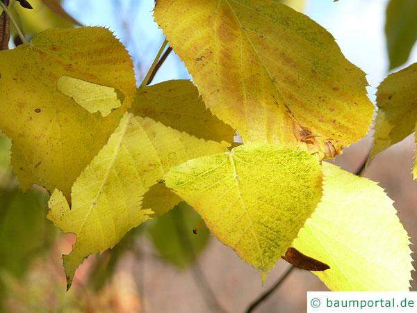 riesenblättrige Linde (Tilia americacna 'Nova') Herbstlaub