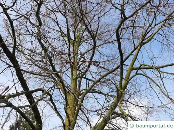 riesenblättrige Linde (Tilia americacna 'Nova') Krone im Winter