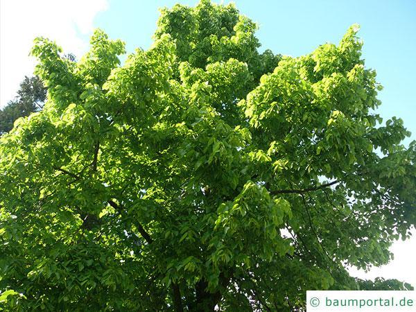 riesenblättrige Linde (Tilia americacna 'Nova') Baum im Sommer