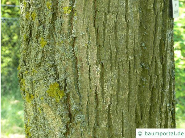 amerikanische Linde (Tilia americana) Stamm / Borke / Rinde
