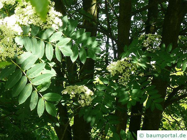 amerikanische Mehlbeere (Sorbus americana) Blätter