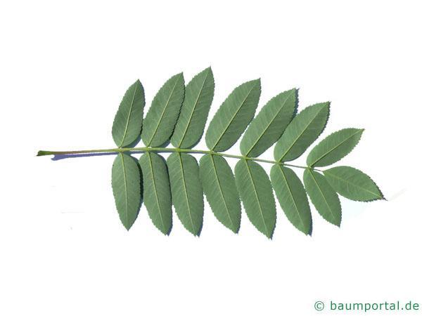 amerikanische Mehlbeere (Sorbus americana) Blattunterseite