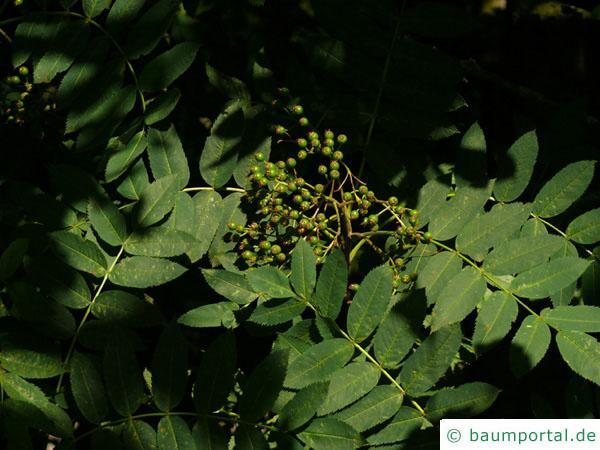 amerikanische Mehlbeere (Sorbus americana) Frucht