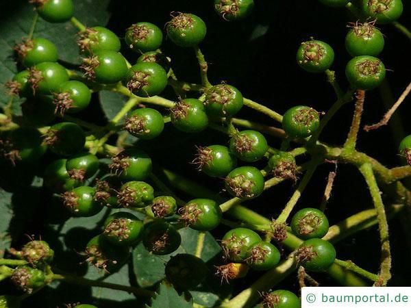 amerikanische Mehlbeere (Sorbus americana) Früchte im Sommer