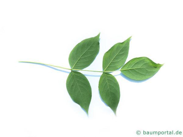 amerikanische Pimpernuss (Staphylea trifolia) Blattunterseite
