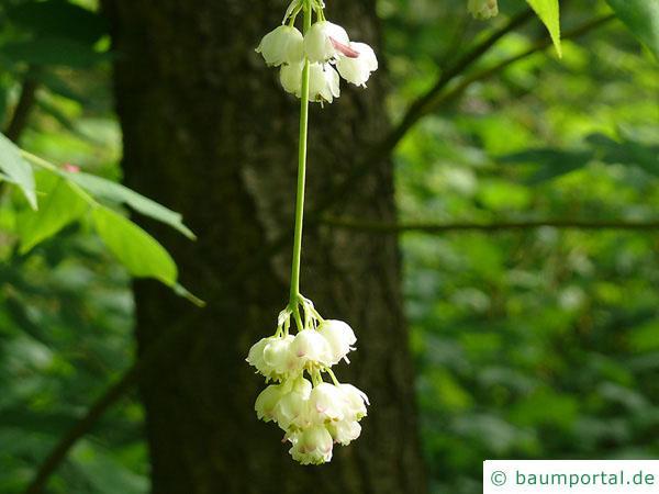 amerikanische Pimpernuss (Staphylea trifolia) Blüten