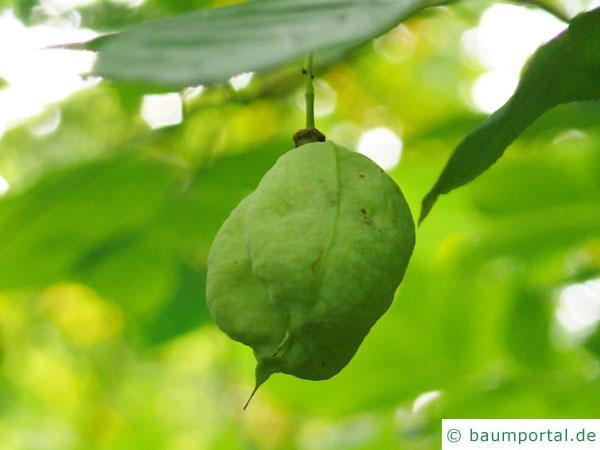 amerikanische Pimpernuss (Staphylea trifolia) Frucht