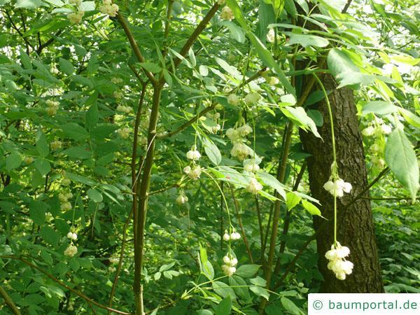 amerikanische Pimpernuss (Staphylea trifolia) Krone