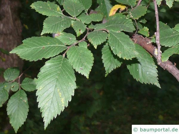 amerikanische Ulme (Ulmus americanus) Blätter