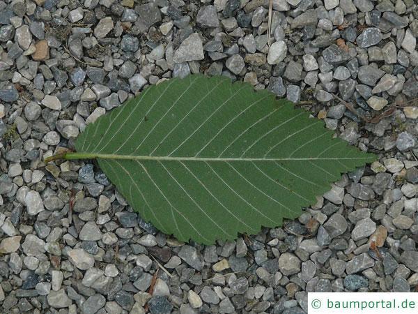 amerikanische Ulme (Ulmus americanus) Blatt Unterseite