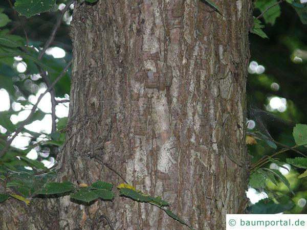 riesenblättrige Linde (Tilia americacna 'Nova') Stamm / Rinde / Borke