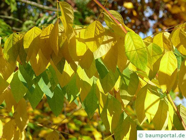 Geweihbaum (Gymnocladus dioicus) Herbstlaub
