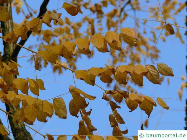 Geweihbaum (Gymnocladus dioicus) Blätter im Spätherbst