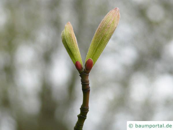 amerikanischer Schlangenhaut-Ahorn (Acer pensylvanicum) Austrieb im Frühjahr