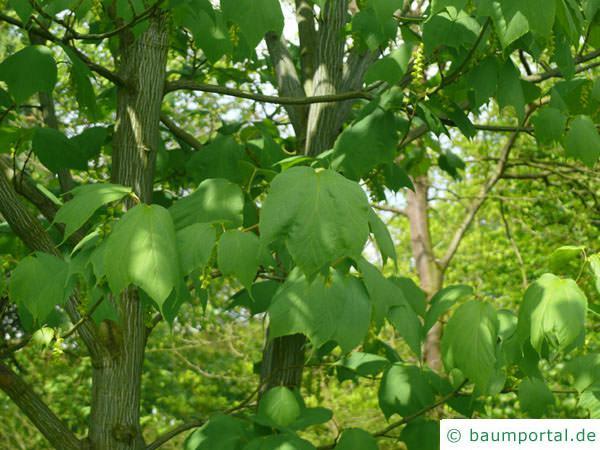amerikanischen Schlangenhaut-Ahorns (Acer pensylvanicum) Blätter
