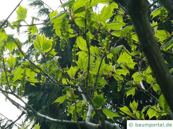 amerikanischer Schlangenhaut-Ahorn Acer pensylvanicum Blätter