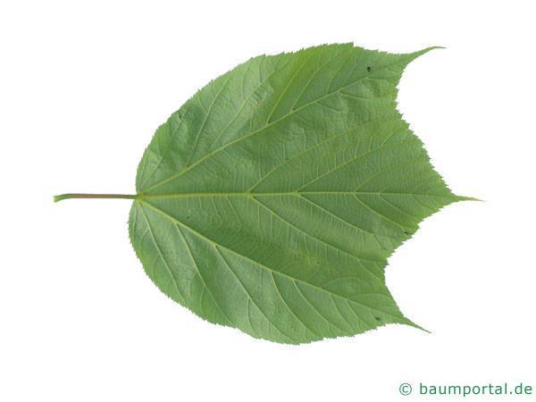 amerikanischer Schlangenhaut-Ahorn (Acer pensylvanicum) Blattrückseite