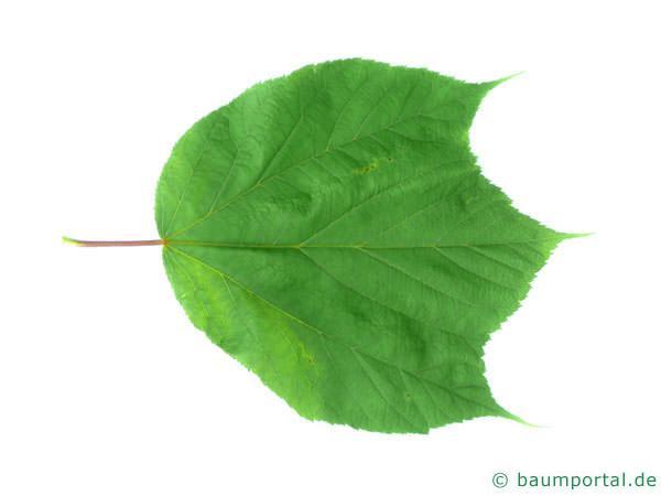 amerikanischer Schlangenhaut-Ahorn (Acer pensylvanicum) Blatt