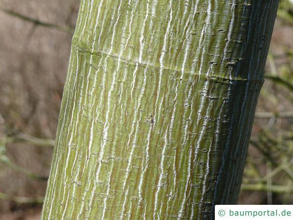 amerikanischer Schlangenhaut-Ahorn (Acer pensylvanicum) Stamm