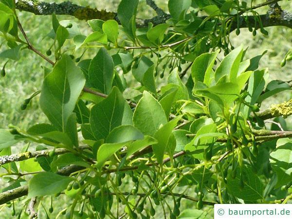 amerikanischer Storaxbaum (Styrax americanus) Blätter