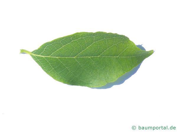 amerikanischer Storaxbaum (Styrax americanus) Blatt
