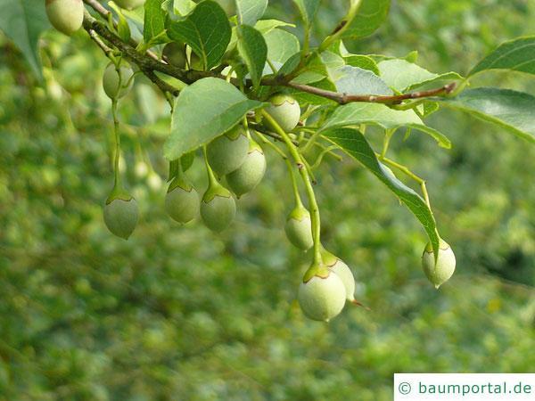 amerikanischer Storaxbaum (Styrax americanus) Frucht