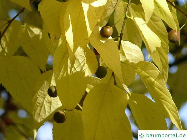 amerikanischer Zürgelbaum (Celtis occidentalis) reife Früchte