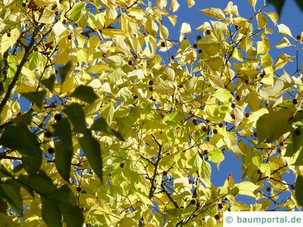 amerikanischer Zürgelbaum (Celtis occidentalis) Herbstfärbung