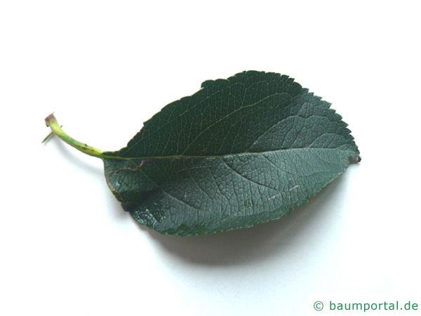 Apfelbaum (Malus hybrid) Blatt