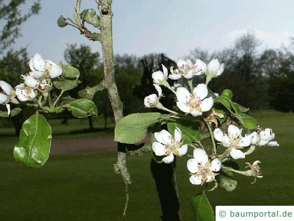Apfel (Malus hybrid) Blüte