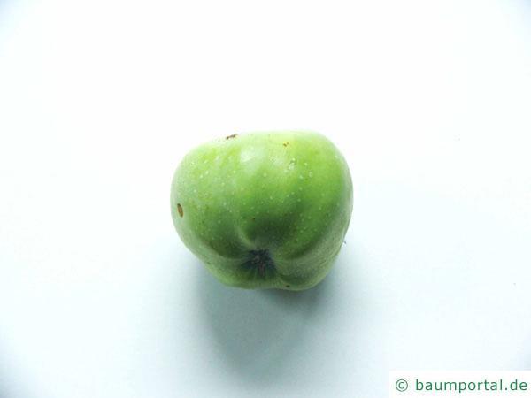 Apfelbaum (Malus hybrid) Apfel Frucht