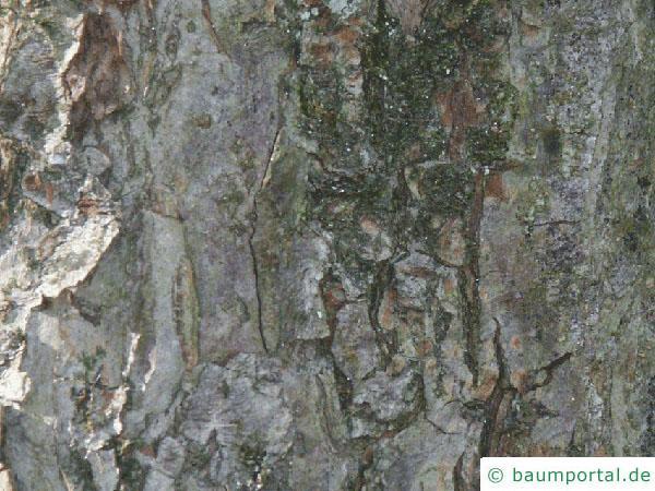 Apfelbaum (Malus hybrid)  Stamm / Borke / Rinde