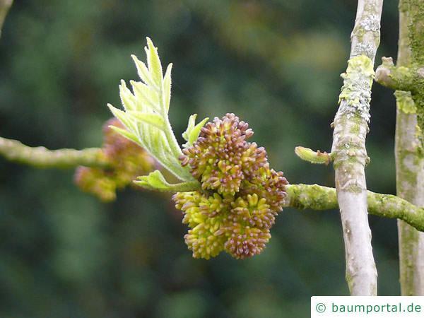 Arizona-Esche (Fraxinus velutina) Austrieb