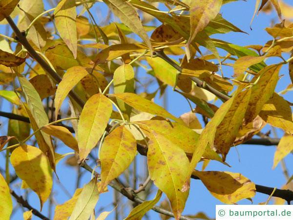 Arizona-Esche (Fraxinus velutina) Blaetter im Herbst