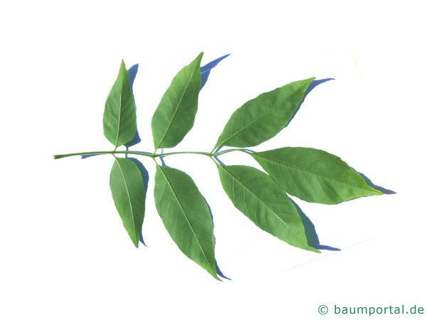 Arizona-Esche (Fraxinus velutina) Blattunterseite