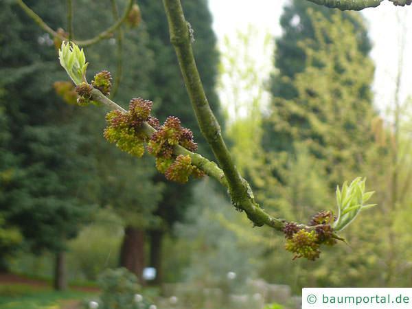 Arizona-Esche (Fraxinus velutina) Blüte Austrieb