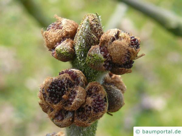 Arizona-Esche (Fraxinus velutina) Blüte