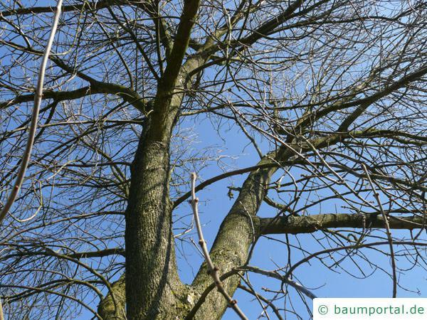 Arizona-Esche (Fraxinus velutina) Krone im Winter