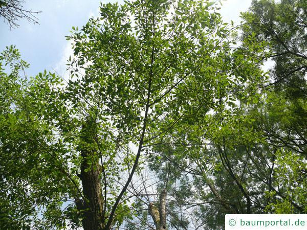 Arizona-Esche (Fraxinus velutina) Krone
