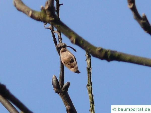 asiatisches Gelbholz (Maackia amurensis) Schote im Winter