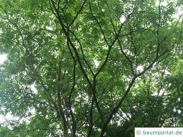 asiatisches Gelbholz (Maackia amurensis) Krone im Sommer
