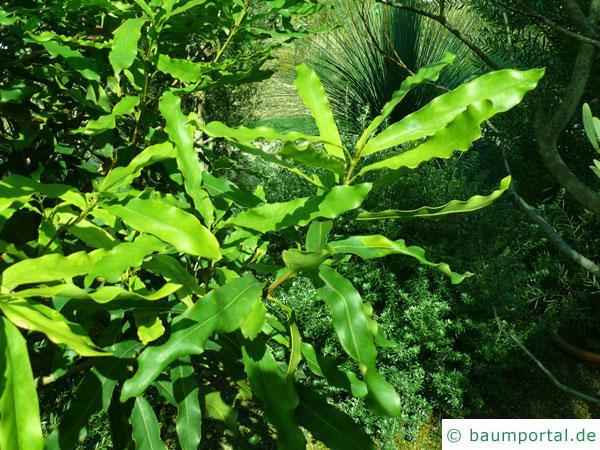 australische Haselnuss (Macadamia ternifolia) Blaetter