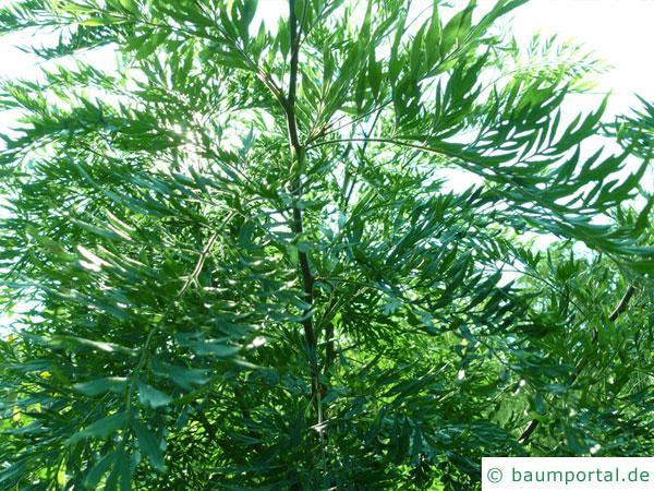 Silber-Eiche (Grevillea robusta) Baum