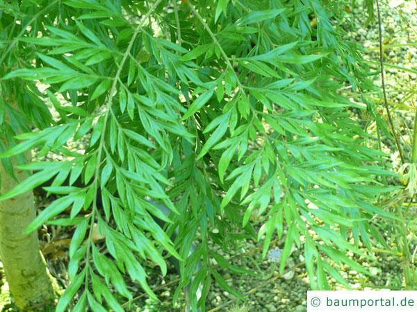 Silber-Eiche (Grevillea robusta) Zweig